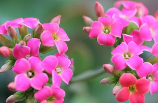 长寿花吸收甲醛吗,可以(能够净化室内空气)