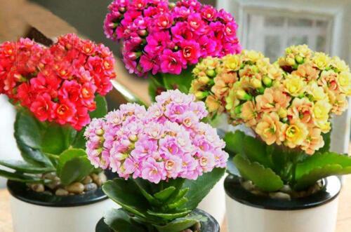 长寿花催花方法大全,3个方法开出更多更美丽的花
