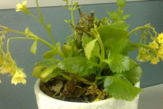 长寿花叶子一碰就掉怎么办,6个解决办法让长寿花恢复生机