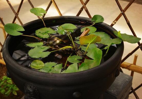 家里为什么不能养睡莲,风水不好/阴气重会招来厄运