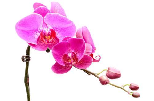 蝴蝶兰花开完了怎么办,蝴蝶兰花期的养护方法