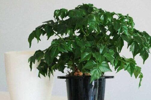 幸福树换盆后如何施肥