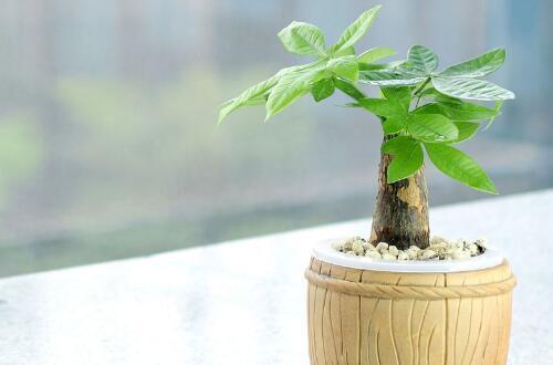 发财树生根粉怎么用,发财树生根粉使用步骤(4个)