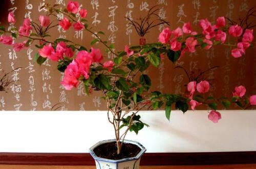 三角梅用办法开花最快,逼根控水促开花(让你花开满树)
