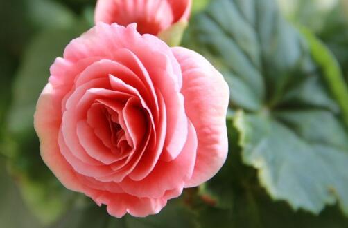 海棠叶子能插活吗,可以/5个步骤教会你扦插海棠叶子