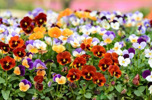 三色堇的花期多长,花期在4~7月(长达4个月)