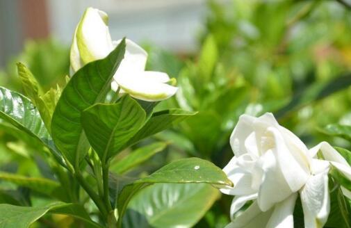 怎么让栀子花快开花,五种方法让你的栀子花枝繁叶茂