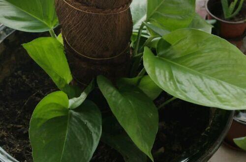 大叶绿萝怎么插杆图解,从扦插到生根只需五步