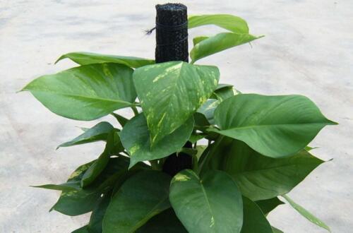 大叶绿萝为什么要柱子,什么可以代替绿萝棕柱