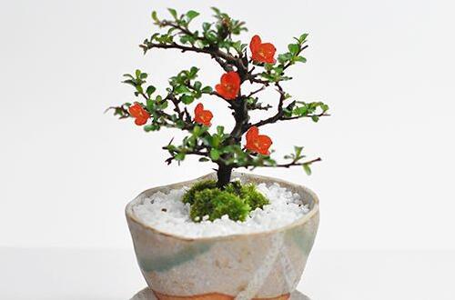 长寿梅怎么养才开花,把握三点诀窍