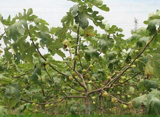 无花果是凶树还是吉树,影响家人健康和风水还招鬼