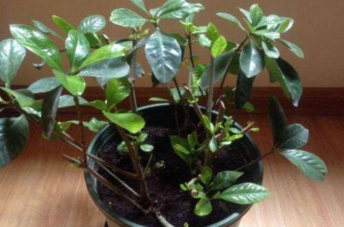 怎样使重剪的盆栽栀子花快长叶子,快速长叶的5个要点