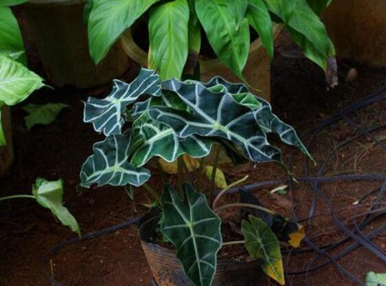 黑叶观音莲有毒吗图片