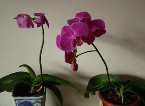 蝴蝶兰的养殖方法和注意事项,5个要点让蝴蝶兰花开满盆