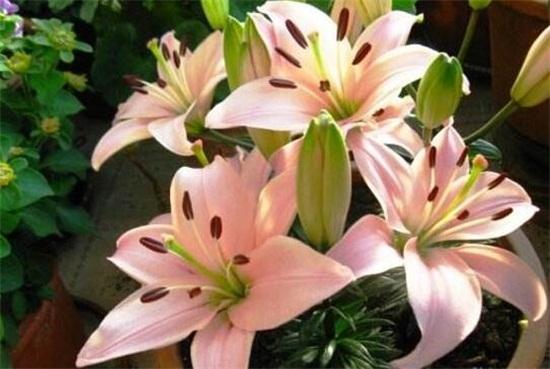 百合花怎么养,4个步骤手把手教你养殖百合花