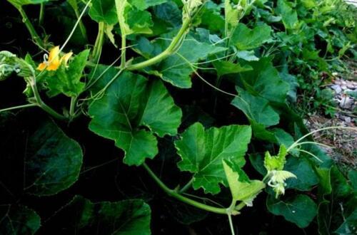 南瓜只开花不结瓜的原因及解决办法,瓜挂满藤的六个技巧