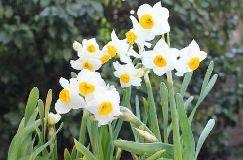 水仙花怎么养,5种方法让水仙花叶姿秀美亭亭玉立