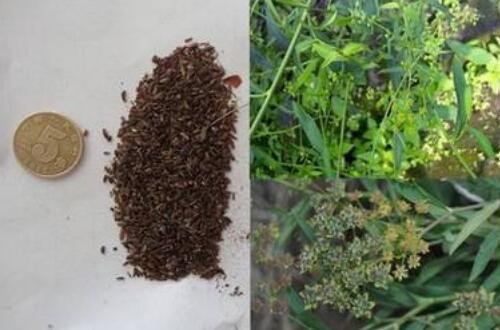 柴胡种子多少钱一斤,柴胡一亩地产多少斤(50~200公斤)