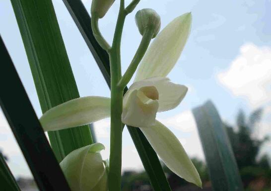 观音素兰花怎么养,观音素的养护技巧和繁殖方