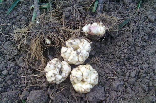 香水百合种球种植方法,种植养护及常见病虫害防治