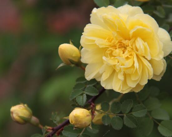 黄刺玫药用价值图片