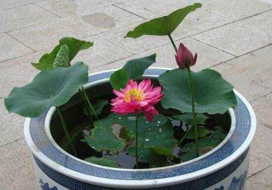 观赏荷花的种植方法,莲藕与莲子的种植步骤