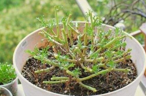 玛格丽特花后怎么修剪,需将残花和木质化枝条适当剪掉