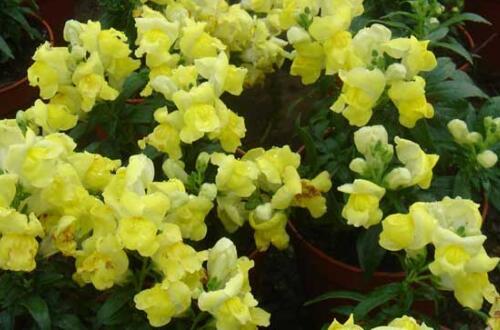 金鱼草怎么养才能开花,5个要点使金鱼草开出来美丽的花