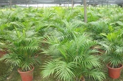 散尾葵怎么施肥最好,散尾葵用什么肥料(腐熟液肥)