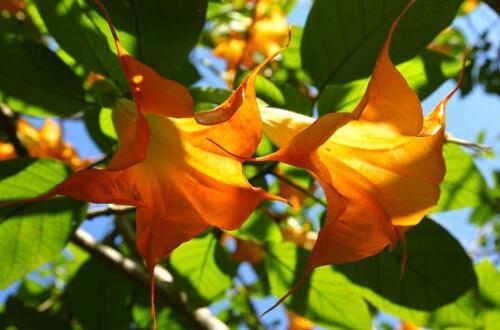 曼陀罗花语是什么