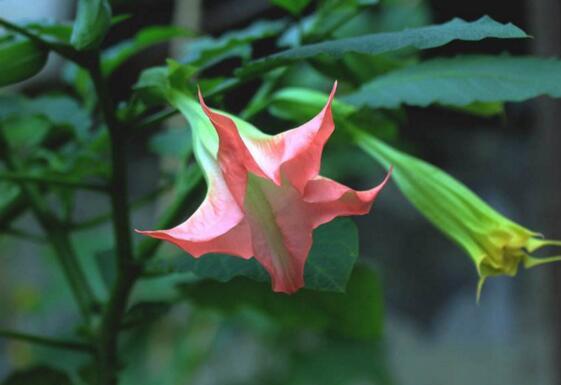 曼陀罗花语是什么,不同颜色曼陀罗花的花语