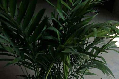 散尾竹的风水禁忌,散尾竹放什么地方好(客厅/东南方/风水位)