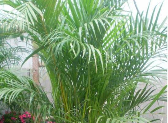 散尾竹和凤尾竹的区别,散尾葵和凤尾竹哪个贵