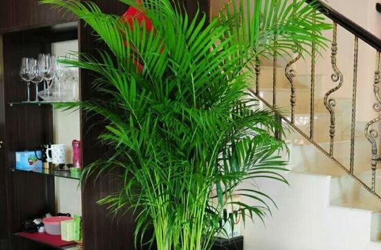 凤尾竹适合放在客厅吗,风尾竹放在什么地方好