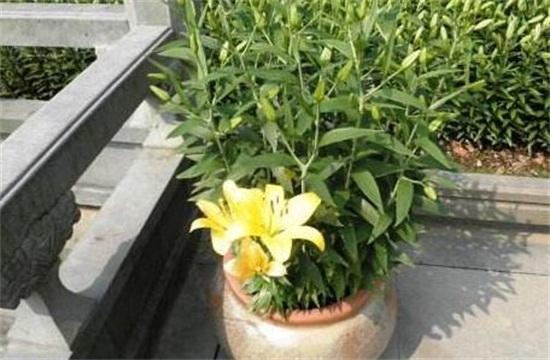 百合花的盆栽养护秘诀,5个小诀窍让百合花开爆盆