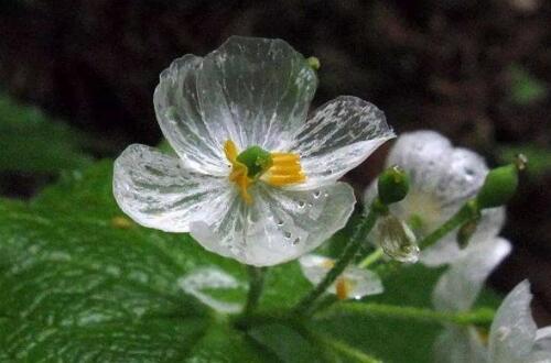 山荷叶花可以或许或许家养吗,可以或许或许/家养山荷叶花的办法