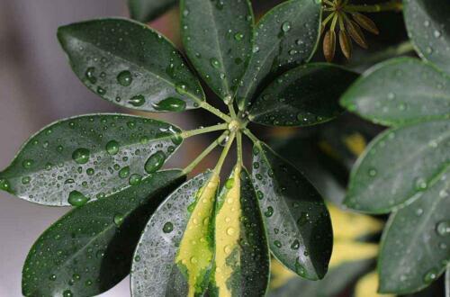 鹅掌木怎么养,鹅掌木的养护技巧与繁殖方法