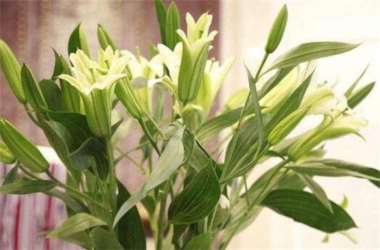百合花开花后怎么处理,4个要点教你开花后处理方法