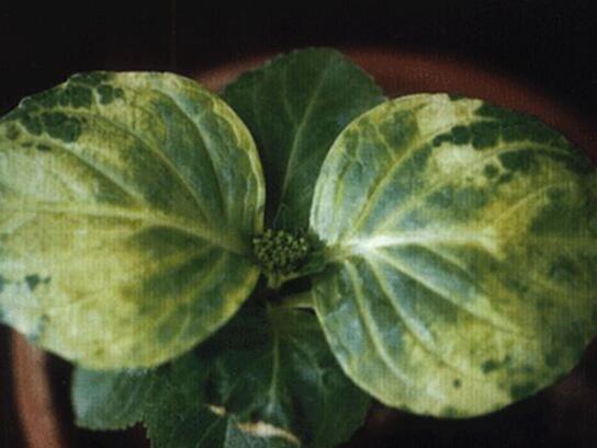 绣球花叶子发黄边缘干枯怎么办,4种方法让绣球花叶子绿似碧玉