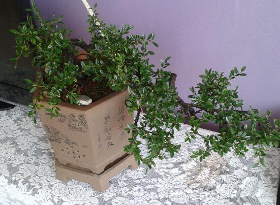 清香木盆栽的养殖方法,4个步骤让清香木郁郁葱葱
