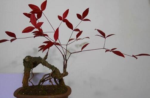 红枫叶树怎么扦插,4个步骤让红枫迅速成活