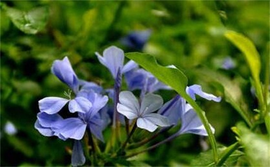 蓝雪花夏天怎么养护,注意遮荫早晚浇水还要经常施肥