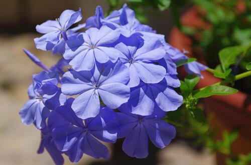 蓝雪花只长叶子不开花