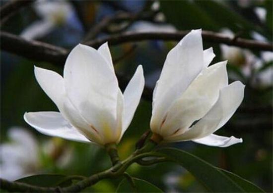 白兰花有毒吗,没有毒但不能吸食过量香气