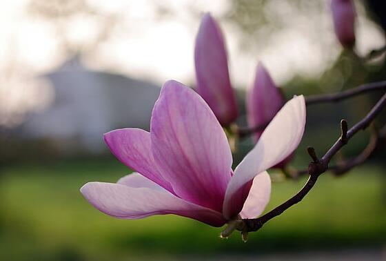 玉兰花的寓意和传说,,代表着报恩忠贞不渝爱情