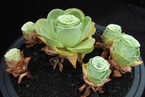 山地玫瑰怎么浇水,夏季要注意控水(可采纳浸盆法)