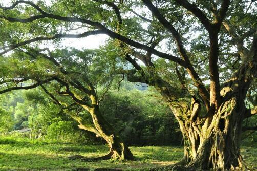 家里为什么不能养榕树,养殖容树家里容不下人(迷信)
