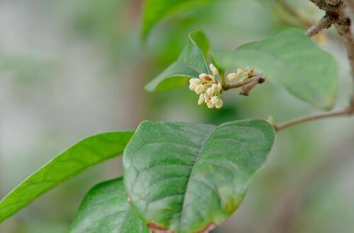 四季桂叶枯病及其防治,及时摘除病叶灭菌消毒