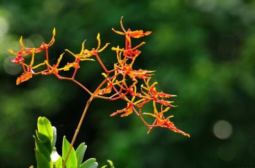 火焰兰的功效与作用,可内服外用还能用来观赏绿化