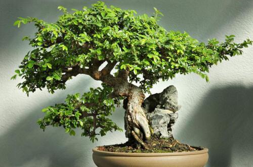 榆树的花语和传说,代表着富裕和榆木疙瘩